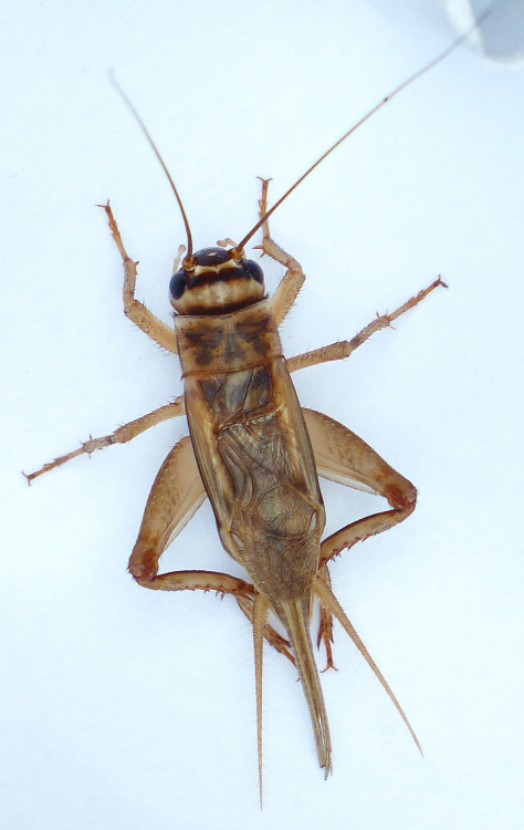 house_cricket.png